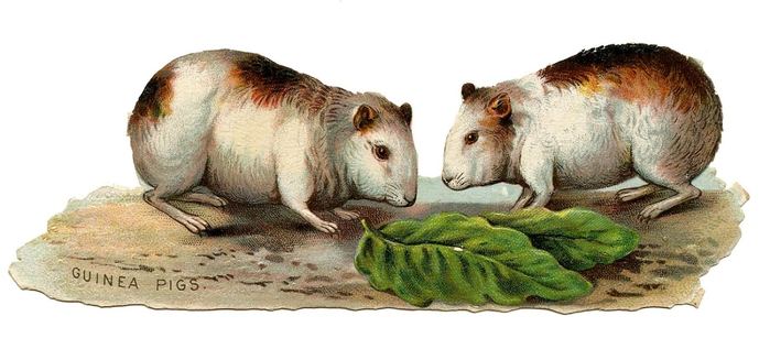 GuineaPigs-GraphicsFairy (700x307, 140Kb)