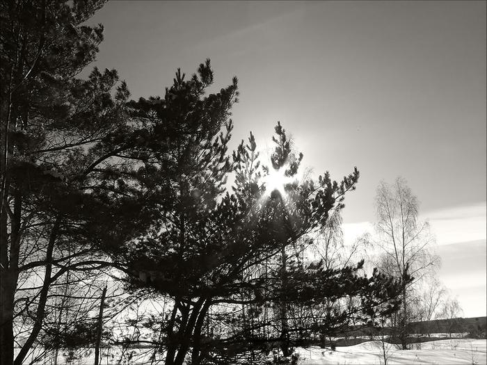 Солнце в соснах (700x525, 282Kb)