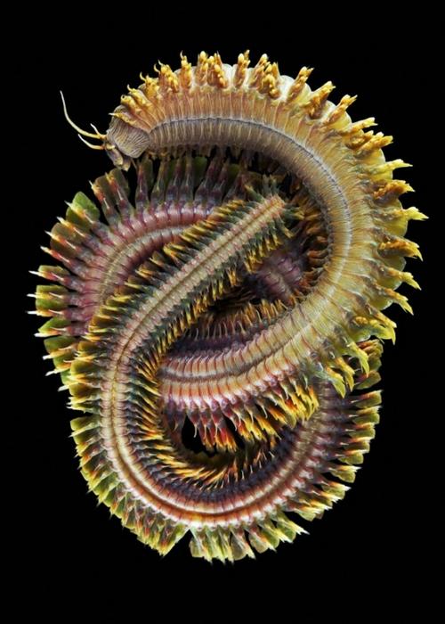 морские организмы фото (500x700, 212Kb)