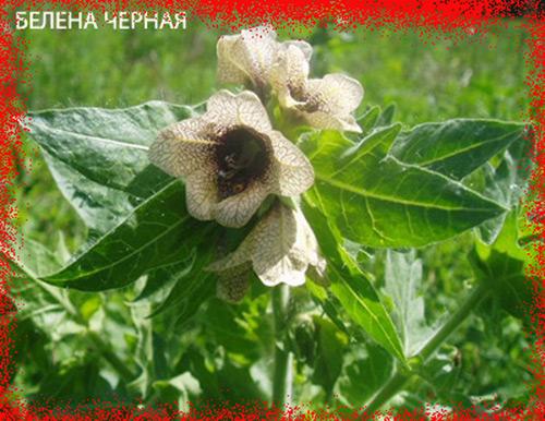 3755121_belenachernaya (500x386, 103Kb)
