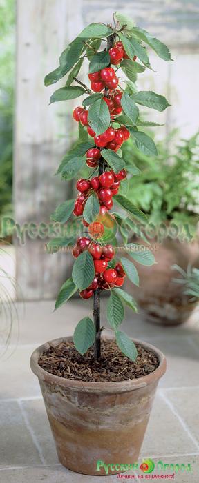 Prunus-Helena-NF9900010334 (288x700, 373Kb)