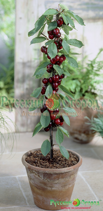 Prunus-Sylvia-NF9900010333 (343x700, 434Kb)