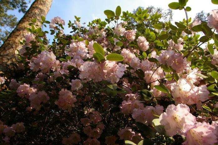 Рододендроновый парк-Westerstede Rhododendronpark. 88583
