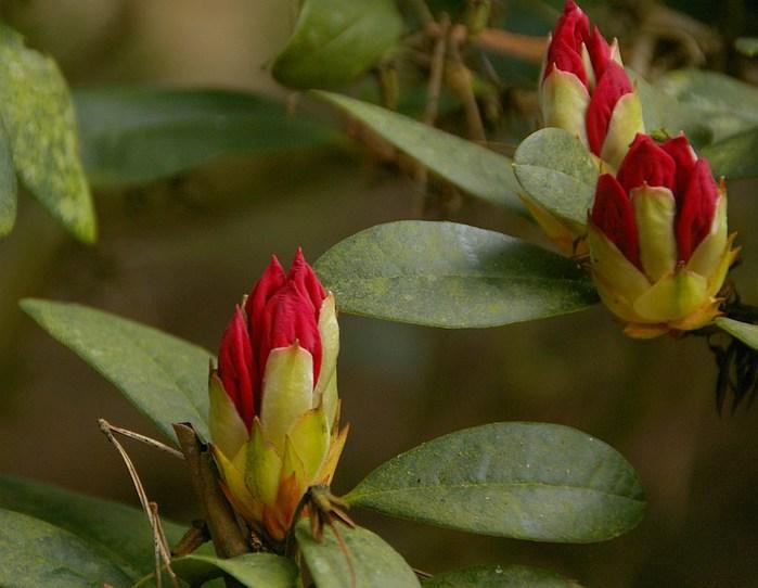 Рододендроновый парк-Westerstede Rhododendronpark. 73863