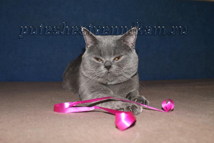 Кот серый британец днепропетровск (700x467, 104Kb)