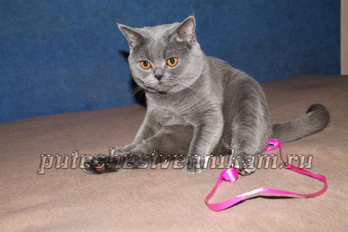 Британский серый кот (700x467, 130Kb)