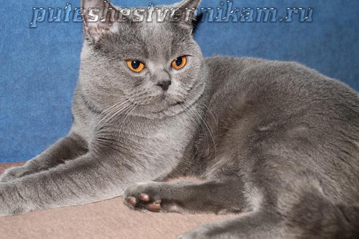 Британец кот Днепропетровск (700x467, 165Kb)