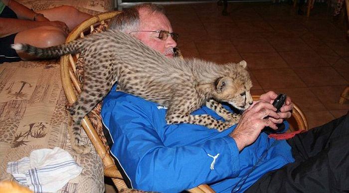 3821971_gepard (700x388, 61Kb)