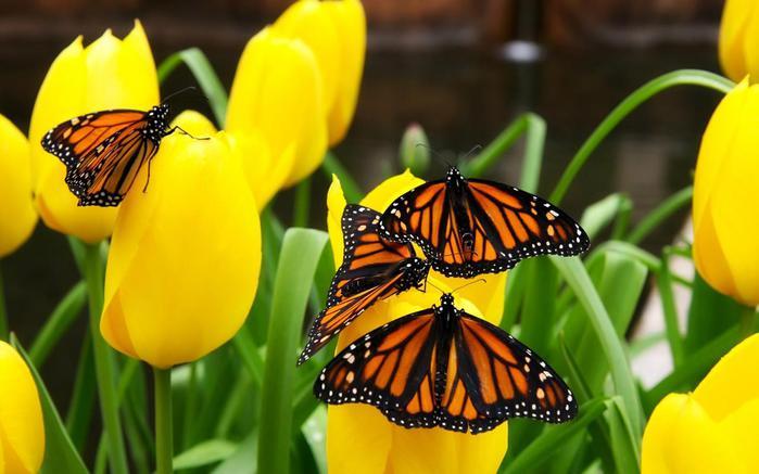 бабочки на тюльпане (700x437, 44Kb)