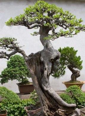-large-bonsai árvore (286x388, 38KB)