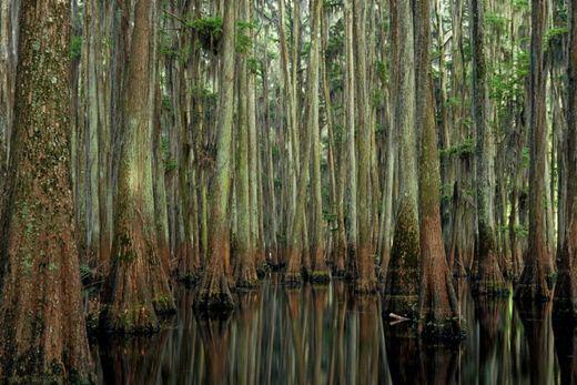Фотографии. Удивительные кипарисы озера Каддо