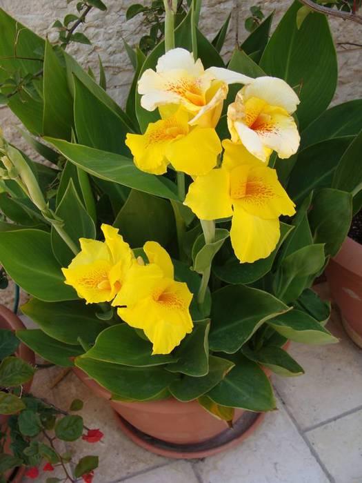 Фото цветок канна посадка и уход