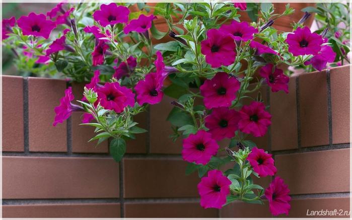 Цветы петунии картинки 5