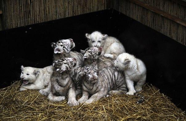 белые львы и тигры фото (604x394, 66Kb)
