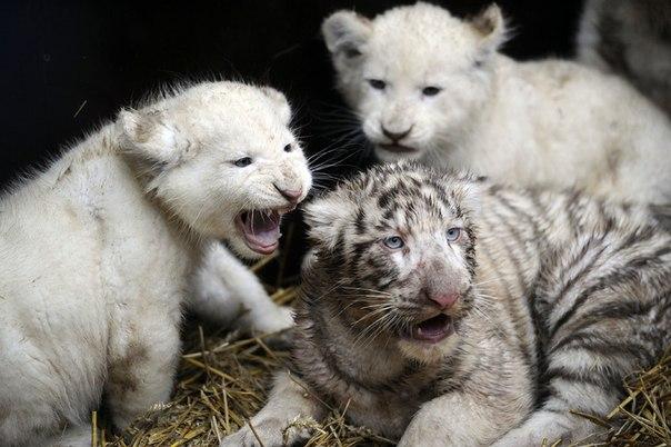 белые львы и тигры фото 2 (604x402, 59Kb)