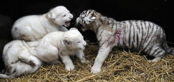 белые львы и тигры фото 6 (604x287, 55Kb)
