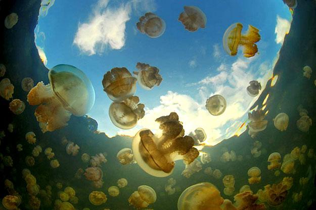 Необыкновенное  озеро медуз находится на архипелаге Палау в Тихом океане - фото 13