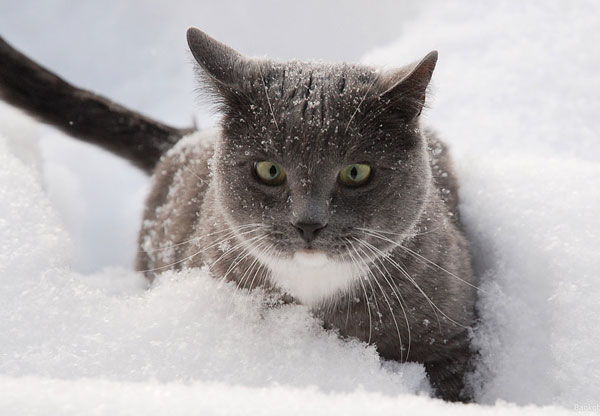 cats-and-snow-13 (600x416, 42Kb)