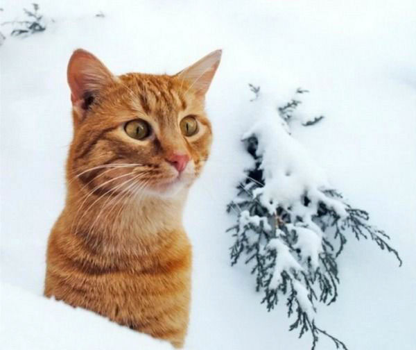 cats-and-snow-16 (600x504, 39Kb)