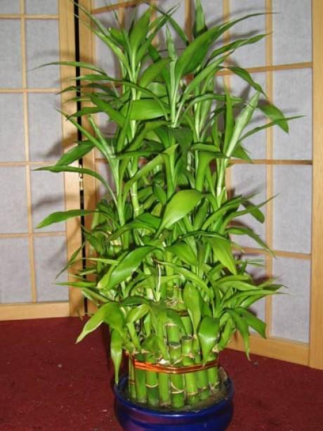 бамбук счастья (7) (460x613, 78Kb)
