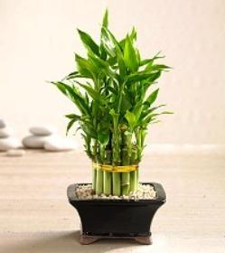 бамбук счастья (14) (249x280, 18Kb)