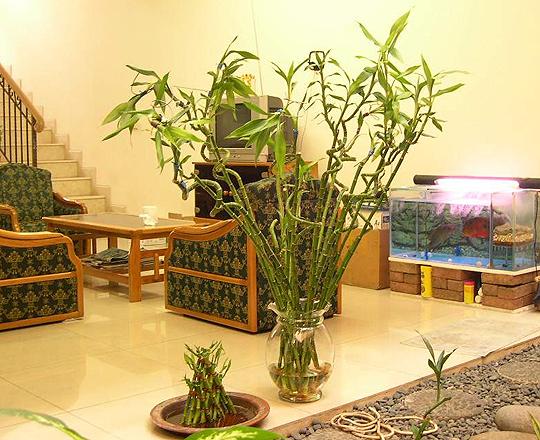 бамбук счастья (20) (540x440, 257Kb)