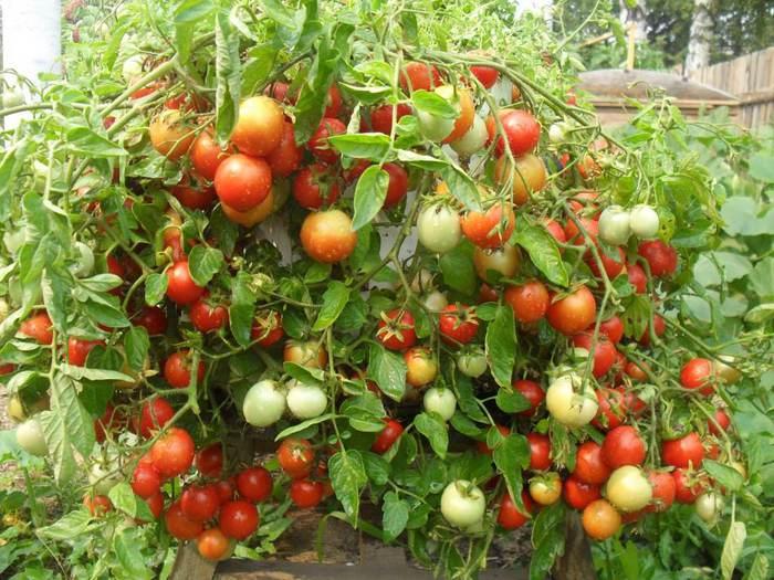 Tomaty (700x525, 80Kb)
