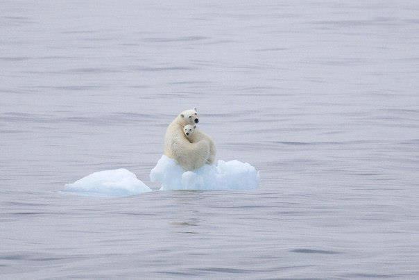 Медведица с медвежонком на льдине, архипелаг Шпицберген (604x403, 22Kb)