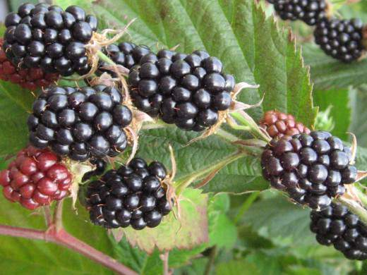 blackberry-520x390 (520x390, 37Kb)