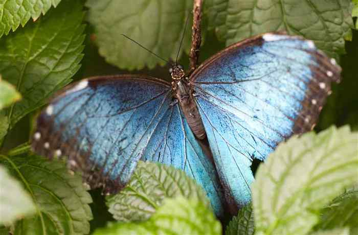blue-morpho-butterfly-with-wings-spread (700x460, 27Kb)