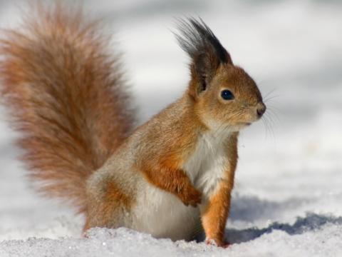 kartinki24_ru_animals_squirrels_0026 (480x360, 19Kb)