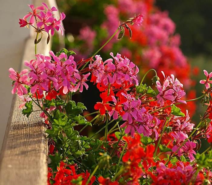 Композиции цветов для балконных ящиков.  Очень красиво смотрятся в ящиках быстро растущие...  Как сажать цветы в...