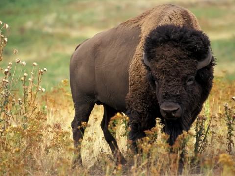 Animals_Beasts_Buffalo_031023_ (480x360, 32Kb)