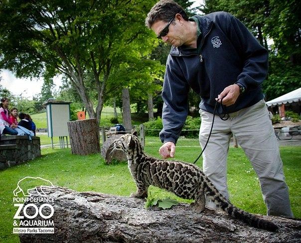 дымчатые леопарды фото (604x487, 113Kb)