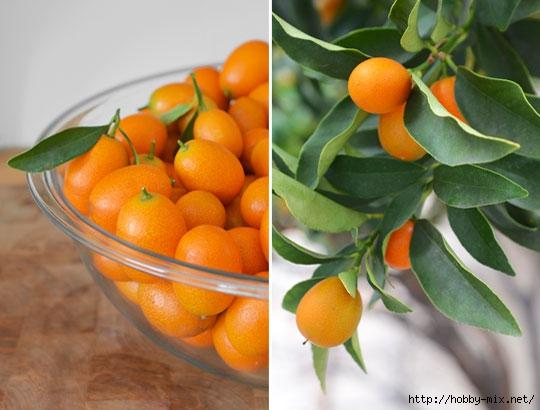 2013_02_06-kumquats2 (540x410, 126Kb)