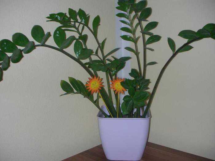 cvetok-zamiokultas-5 (700x525, 24Kb)