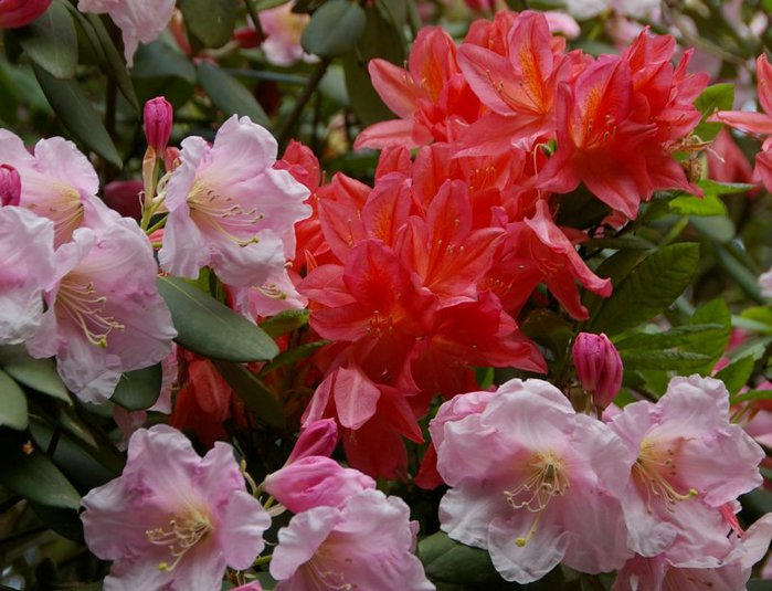 Рододендроновый парк-Westerstede Rhododendronpark. 69175