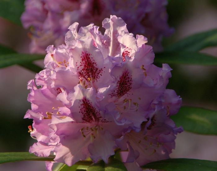 Рододендроновый парк-Westerstede Rhododendronpark. 70536