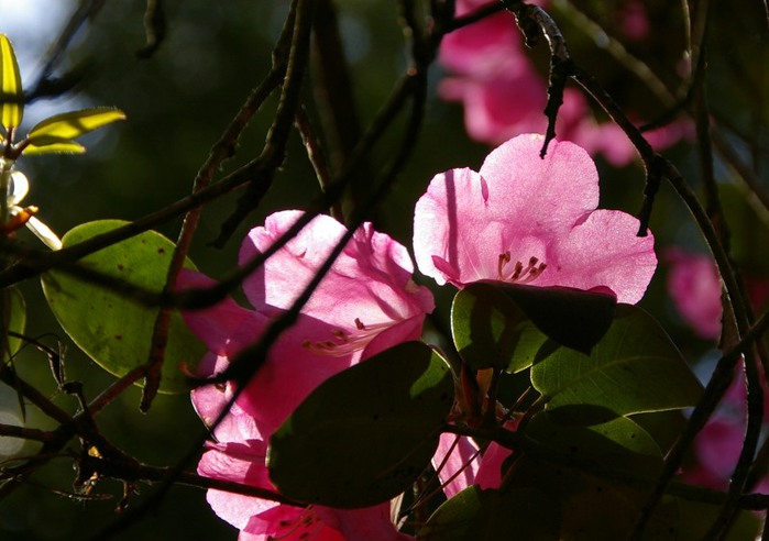 Рододендроновый парк-Westerstede Rhododendronpark. 79114