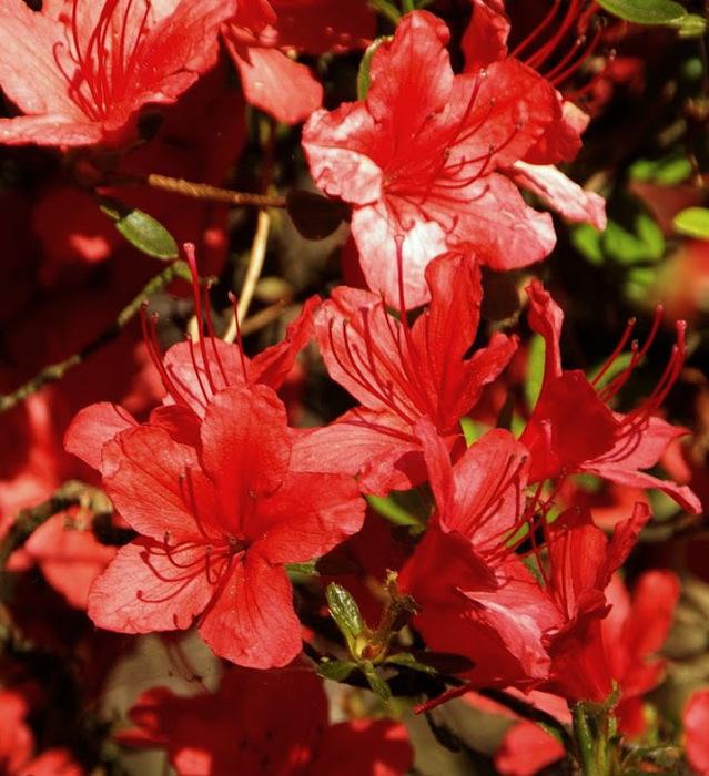 Рододендроновый парк-Westerstede Rhododendronpark. 37528