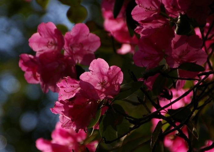 Рододендроновый парк-Westerstede Rhododendronpark. 52886