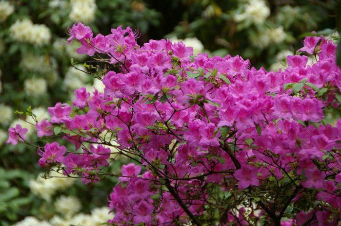 Рододендроновый парк-Westerstede Rhododendronpark. 26205