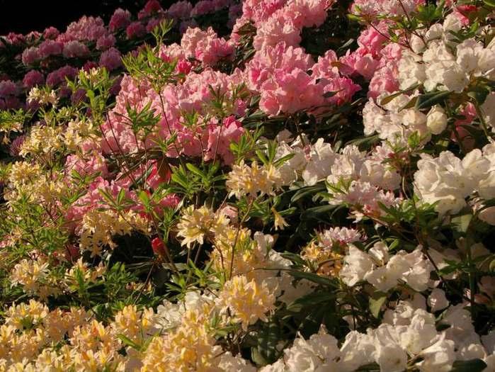 Рододендроновый парк-Westerstede Rhododendronpark. 50807
