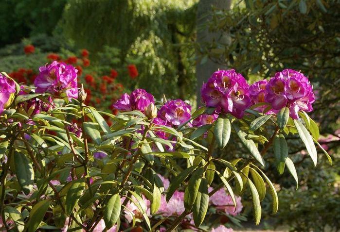 Рододендроновый парк-Westerstede Rhododendronpark. 25284