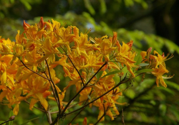 Рододендроновый парк-Westerstede Rhododendronpark. 34296