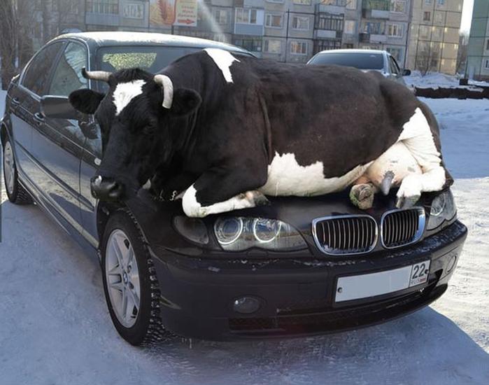 корова-BMW-зима-безумие-553361 (700x550, 251Kb)
