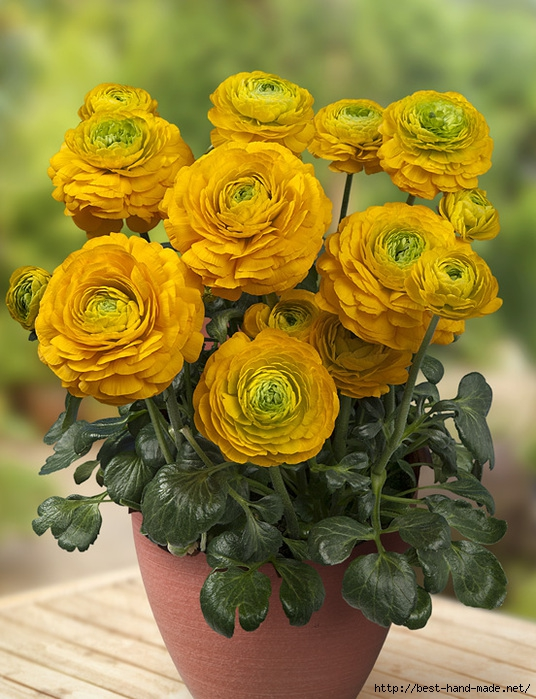 Ranunculus-Juny-Photo-Green-Works (536x700, 296Kb)