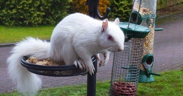 albino_squirell_02 (634x331, 47Kb)