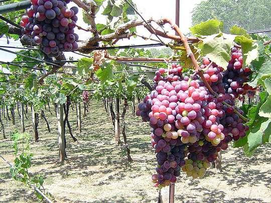 oblomka-vinograda (540x405, 68Kb)