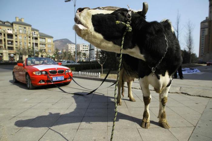 Не умеете чинить — любуйтесь на корову